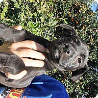 Adopt A Pet :: Chilie - LAKEWOOD, CA