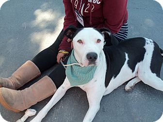 Dogo Argentino Mix Dog for adoption in San Diego, California - Memo