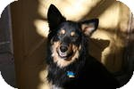 German Shepherd Dog Dog for adoption in Simi Valley, California - Tim