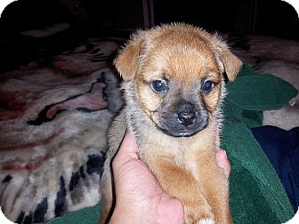 chihuahua rescue houston 1 male left adopted puppy houston tx pug chihuahua mix 9885