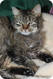 Maine Coon Cat for adoption in North Branford, Connecticut - Maddie