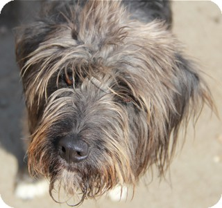 Tibetan Terrier Mix Dog for adoption in Norwalk, Connecticut - Lambert - Agility Train him!!