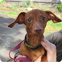 Adopt A Pet :: LIL MAN - Portland, OR