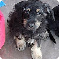 Adopt A Pet :: Madison - La Habra Heights, CA