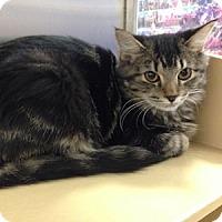 Adopt A Pet :: Murmur - Gilbert, AZ