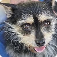 Adopt A Pet :: Tortilla - Winters, CA