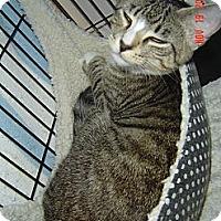Bengal Cat for adoption in Medford, New Jersey - Mini Me (Belle's kitten)