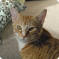 Adopt A Pet :: Orange Crush - Winchendon, MA