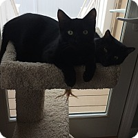 Adopt A Pet :: Black young male twin cats - Manasquan, NJ