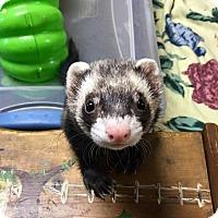 Adopt A Pet :: Ying - Fawn Grove, PA