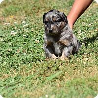 Adopt A Pet :: Poe - Groton, MA