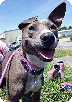 Greyhound Mix Dog for adoption in Boston, Massachusetts - Sicily