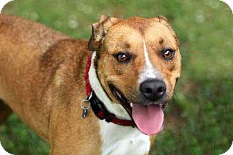 Labrador Retriever Mix Dog for adoption in Salem, New Hampshire - BRANDY