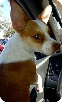 Chihuahua/Jack Russell Terrier Mix Dog for adoption in West Palm Beach, Florida - Cheebee
