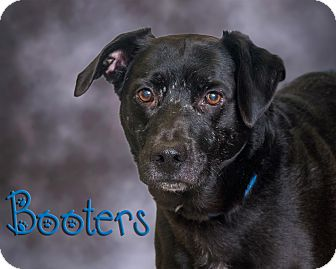 Labrador Retriever Mix Dog for adoption in Somerset, Pennsylvania - Booters