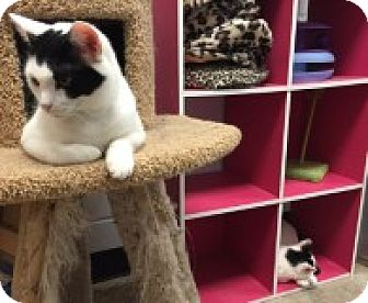 Domestic Shorthair Cat for adoption in Manchester, Connecticut - Olivia