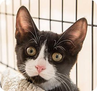 Domestic Shorthair Cat for adoption in New York, New York - Jasmin