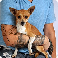 Adopt A Pet :: Kaleb ChiDash - St. Louis, MO
