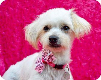 Maltese/Poodle (Miniature) Mix Dog for adoption in Irvine, California - Tina