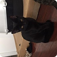 Domestic Shorthair Cat for adoption in Woodbury, New Jersey - Ombra (CP)