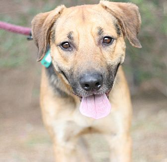 Shepherd (Unknown Type)/Labrador Retriever Mix Dog for adoption in Canoga Park, California - Bugsy