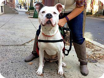 Pit Bull Terrier Mix Dog for adoption in Philadelphia, Pennsylvania - Titan