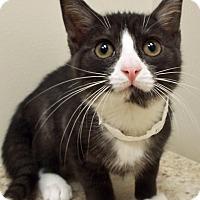 Adopt A Pet :: Sylvester - Plainfield, IL