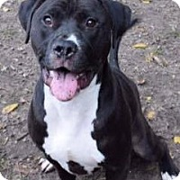 American Pit Bull Terrier Mix Dog for adoption in Saginaw, Michigan - Spud