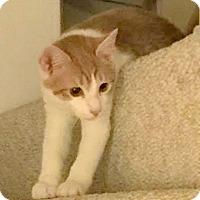 Adopt A Pet :: Getty - Fairfax, VA