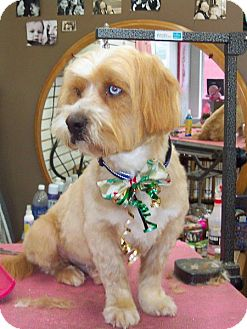 Petit Basset Griffon Vendeen Mix Dog for adoption in Sheridan, Oregon - Frankie
