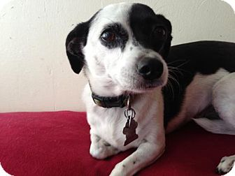 Rat Terrier Mix Dog for adoption in Atascadero, California - Bella
