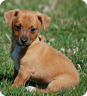 Jack Russell Terrier/Chihuahua Mix Puppy for adoption in Providence, Rhode Island - Adam