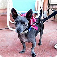 Adopt A Pet :: Sterling Blue - Carpenteria, CA