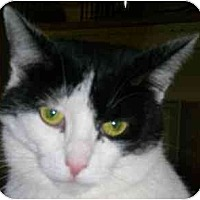 Adopt A Pet :: Foxy Lady - Lombard, IL