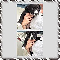 Adopt A Pet :: Leyla - Yerington, NV