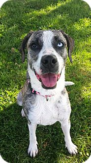 Plott Hound/Labrador Retriever Mix Dog for adoption in Lake Odessa, Michigan - Gypsy