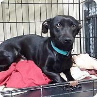 Adopt A Pet :: Halee - Lubbock, TX