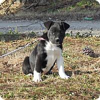 Adopt A Pet :: NESSA - Hartford, CT