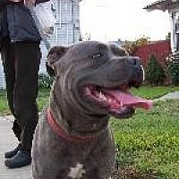 American Staffordshire Terrier Dog for adoption in Pt. Richmond, California - BROWNIE