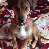 Adopt A Pet :: Annie PENDING - Westport, CT