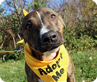 Pit Bull Terrier Mix Dog for adoption in Wilmington, Delaware - Sonny