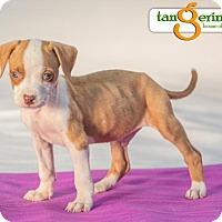 Adopt A Pet :: Bebop - Mayer, MN