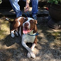 American Staffordshire Terrier/American Bulldog Mix Dog for adoption in Belleville, Michigan - Carl