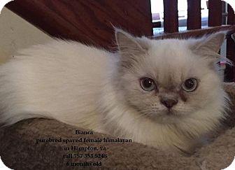 Himalayan Cat for adoption in Virginia Beach, Virginia - Bianca