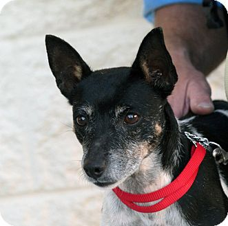 Rat Terrier Mix Dog for adoption in Palmdale, California - Dottie