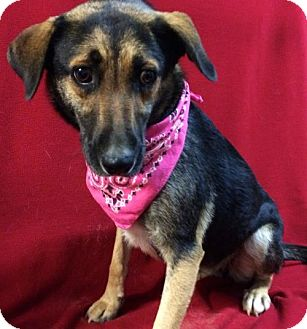 German Shepherd Dog Mix Dog for adoption in Thomspn, Connecticut - Ginny