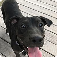 Adopt A Pet :: Boomer - Brattleboro, VT