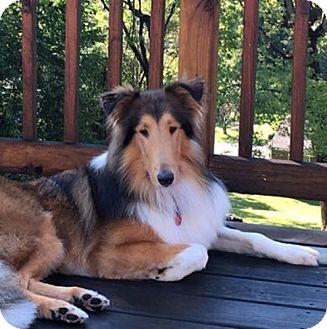 Collie Dog for adoption in Dublin, Ohio - FINLEY