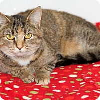 Calico Cat for adoption in Mt. Carmel, Illinois - KATIE