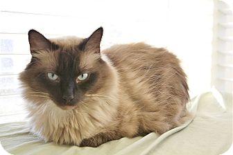 Ragdoll Cat for adoption in Davis, California - Charley Bucket